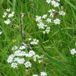 Pignut in meadow