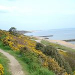 yellow gorse on Highcliffe coastline