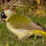 green woodpeckers in Friars Cliff