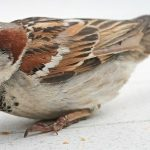 The decline of sparrows in the UK