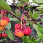 Strawberry trees in Friars Cliff