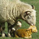 Lambing time in Taddington