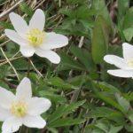 British windflower or anemone